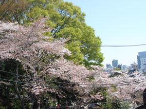 Sakura_2008_01